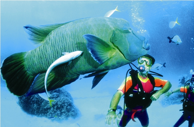 Scuba diver getting up close and personal with giant fish on the Great Barrier Reef.