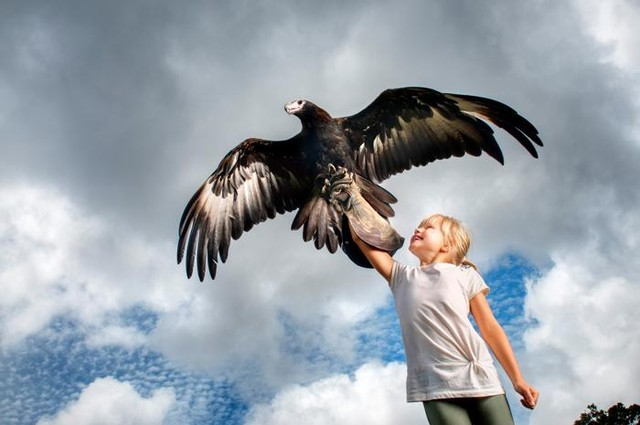 Little boy holding a Eagle from the O'Reilly's Rainforest Retreat Birds of Prey Show - Hightide Holidays