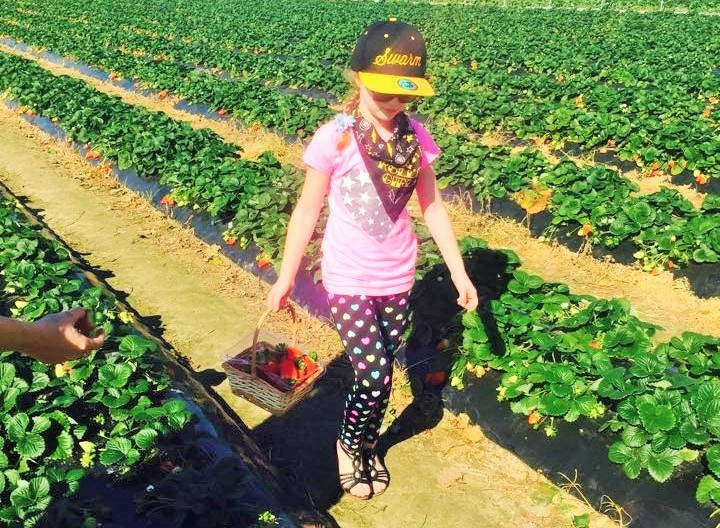Strawberry Picking - Discover Queensland