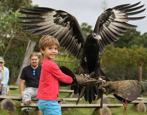 Little Boy holding an Eagle at O'Reilly's Rainforest Retreat - Image Via Instagram - Discover Queensland