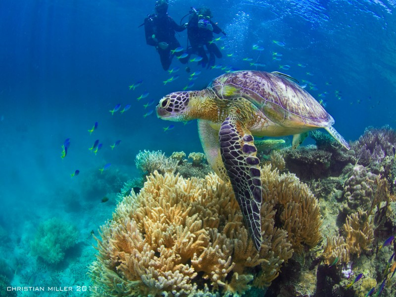 Turtles on the Great Barrier Reef at Fitzroy Island | Discover Queensland