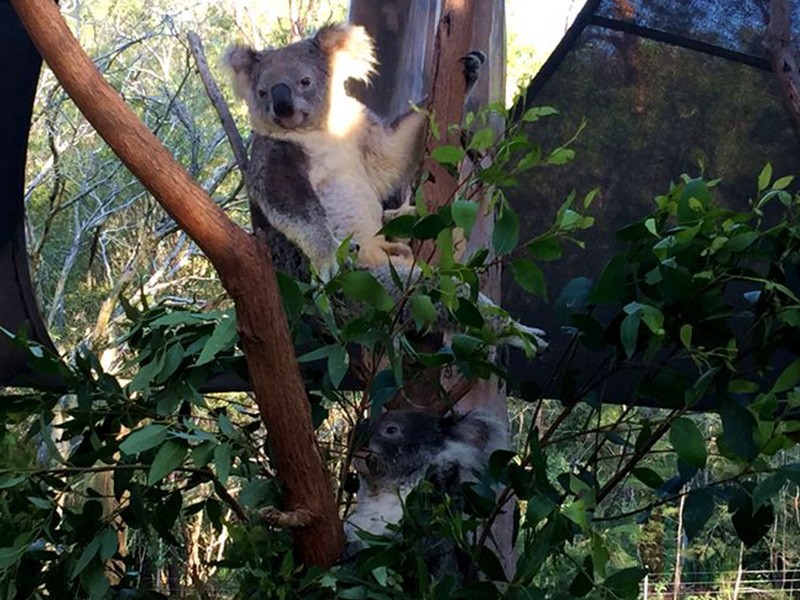 Paradise Country Koalas | Discover Queensland
