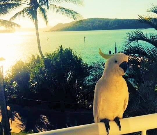 Cockatoo on Daydream Island - Discover Queensland