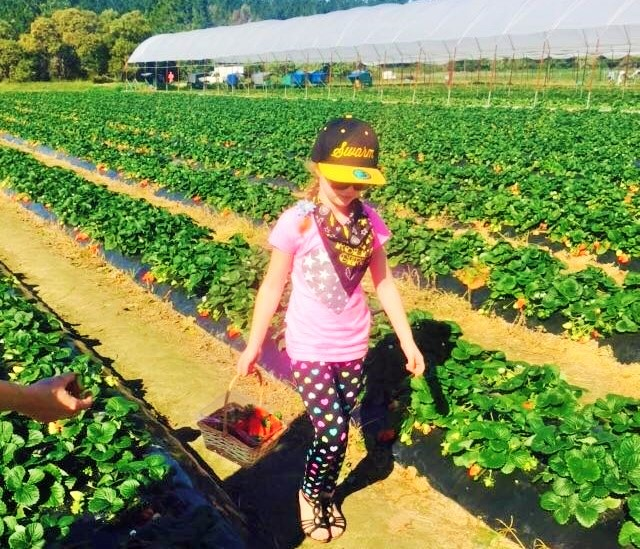 Strawberry Picking Sunshine Coast | Discover Queensland