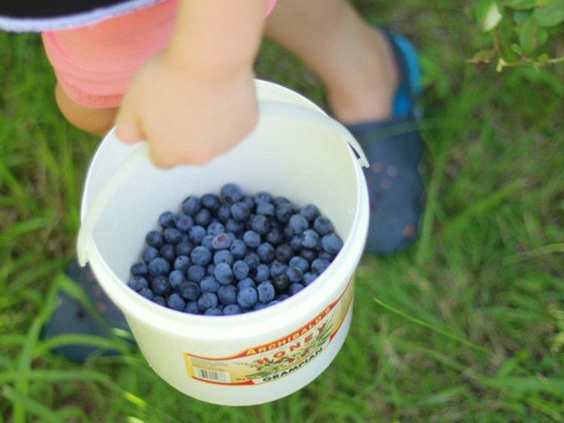 Blueberry Picking, Misty Valley Farm