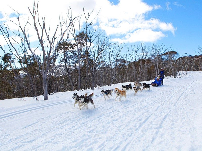 Sled Dog Tour by Visit Victoria | How to do a snow holiday in the Victorian High Country | Discover Victoria