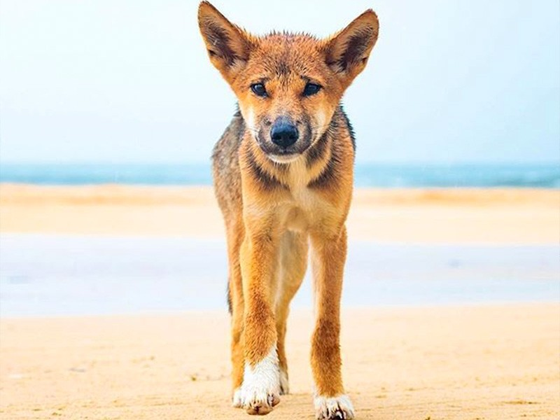 Fraser Island Dingoes | Image by @intothewildphotog via Instagram | 15 Photos That Will Make You Want to Visit Fraser Island | Discover Queensland