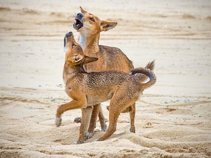 Dingoes by @gregorsnell via Instagram | Fraser Island's Wildlife + Bonus Wacky Names | Discover Queensland