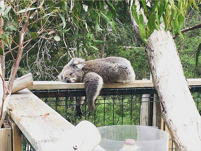 Koala Conservation Centre by @laurenzara via Instagram | Get Up Close and Personal with Phillip Island's Native Wildlife | Discover Victoria