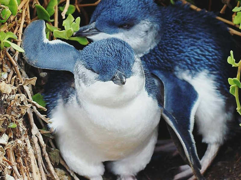Little Blue Penguins | Image by @grants_abroad via Instagram | Get up close and personal with Phillip Island's native wildlife | Discover Victoria