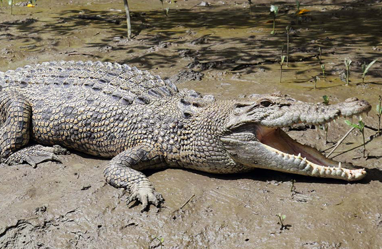 Crocodile Tour  | Your Guide to the Whitsundays | Discover Queensland