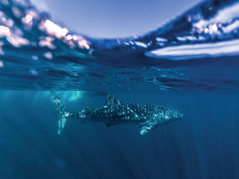 Diving with Whale Sharks | Image via Tourism Western Australia | 7 Ways to Enjoy the Water in Exmouth | Discover Western Australia