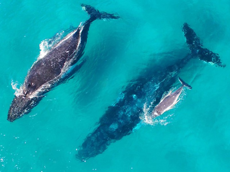 Whale Watching   Top 30 Things to do at Tangalooma Island Resort on Moreton Island   Discover Queensland